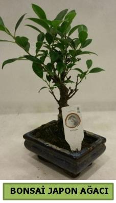 Bonsai japon ağacı saksı bitkisi  Antalya Melisa çiçek servisi , çiçekçi adresleri