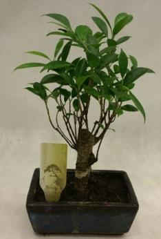 Japon ağacı bonsai bitkisi satışı  Antalya Melisa çiçekçi telefonları