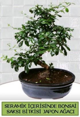 Seramik vazoda bonsai japon ağacı bitkisi  Antalya Melisa çiçek siparişi sitesi