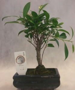 Bonsai japon ağacı bitkisi satışı  Antalya Melisa çiçek gönderme sitemiz güvenlidir