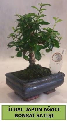 İthal japon ağacı bonsai bitkisi satışı  Antalya Melisa çiçekçi telefonları