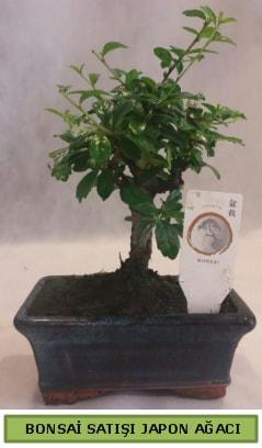 Minyatür bonsai ağacı satışı  Antalya Melisa çiçek gönderme