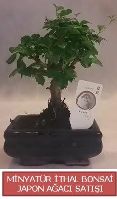 Küçük görsel bonsai japon ağacı bitkisi  Antalya Melisa çiçek , çiçekçi , çiçekçilik