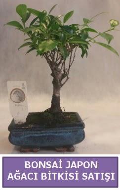 İthal Bonsai japon ağacı bitkisi satışı  Antalya Melisa Melisa İnternetten çiçek siparişi