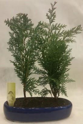 SINIRLI SAYIDA Selvi Ağacı bonsai ikili  Antalya Melisa çiçekçi telefonları