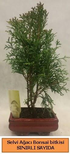 Selvi ağacı bonsai japon ağacı bitkisi  Antalya Melisa çiçek satışı
