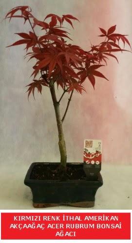 İTHAL ACER RUBRUM BONSAİ AĞACI  Antalya Melisa çiçek gönderme sitemiz güvenlidir