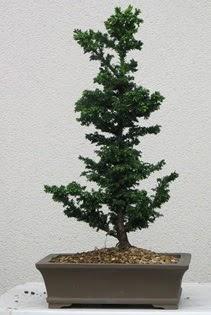 Çam ağacı bonsai bitkisi satışı  Antalya Melisa çiçekçi telefonları