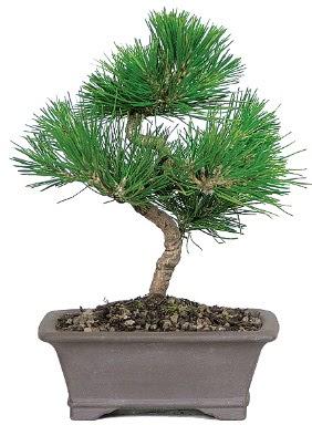Çam ağacı bonsai japon ağacı bitkisi  Antalya Melisa çiçek gönderme