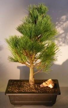Çam ağacı japon ağacı bitkisi bonsai  Antalya Melisa çiçekçi telefonları