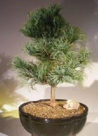 Çam ağacı bonsai bitkisi satışı  Antalya Melisa ucuz çiçek gönder
