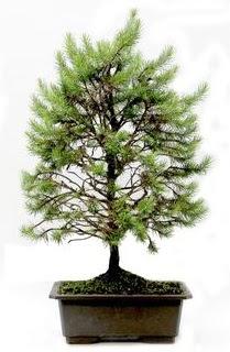 *** STOKTA YOK - Çam ağacı bonsai bitkisi satışı  Antalya Melisa cicekciler , cicek siparisi