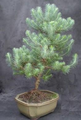 Bonsai çam ağacı japon ağacı bitkisi  Antalya Melisa çiçek gönderme sitemiz güvenlidir