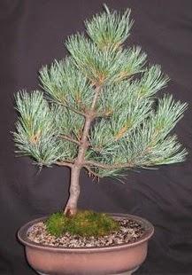 Bonsai çam ağacı japon ağacı bitkisi  Antalya Melisa çiçek siparişi sitesi