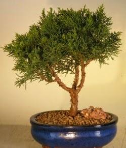 Servi çam bonsai japon ağacı bitkisi  Antalya Melisa çiçek yolla