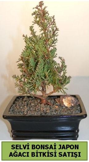 Selvi çam japon ağacı bitkisi bonsai  Antalya Melisa çiçekçi telefonları