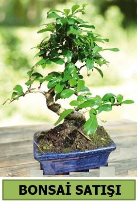 Çam bonsai japon ağacı satışı  Antalya Melisa çiçek satışı
