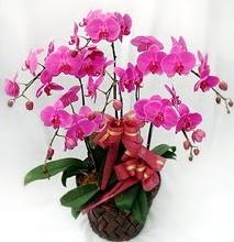 Sepet içerisinde 5 dallı lila orkide  Antalya Melisa ucuz çiçek gönder