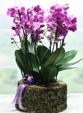 Kütük içerisinde 6 dallı mor orkide  Antalya Melisa ucuz çiçek gönder