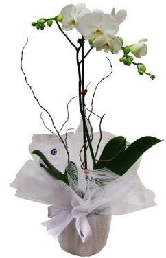 Tek dallı beyaz orkide  Antalya Melisa cicek , cicekci