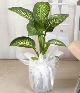 Tropik saksı çiçeği bitkisi  Antalya Melisa çiçek satışı