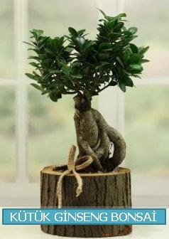 Kütük ağaç içerisinde ginseng bonsai  Antalya Melisa çiçek gönderme sitemiz güvenlidir