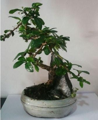 S şeklinde ithal bonsai ağacı  Antalya Melisa çiçek yolla
