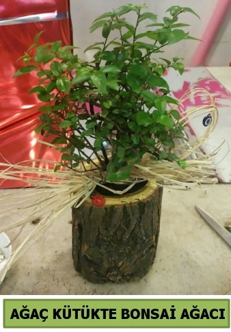 Doğal ağaç kütük içerisinde bonsai ağacı  Antalya Melisa çiçek gönderme sitemiz güvenlidir