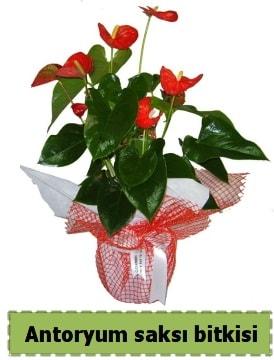 Antoryum saksı bitkisi satışı  Antalya Melisa çiçek , çiçekçi , çiçekçilik