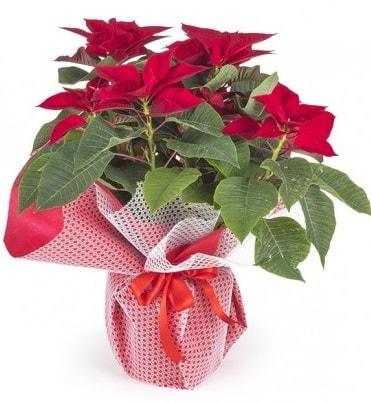 Atatürk çiçeği saksı bitkisi  Antalya Melisa çiçek gönderme sitemiz güvenlidir