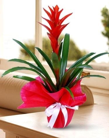 Guzmanya Saksı Çiçeği  Antalya Melisa çiçek yolla