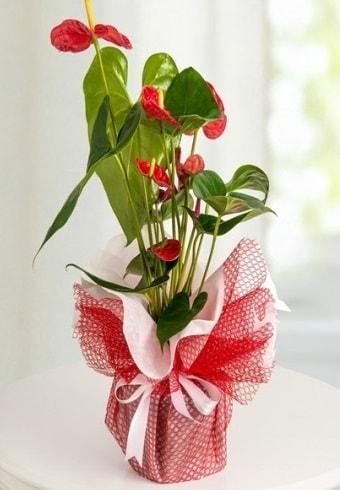 Anthurium Saksı Çiçeği  Antalya Melisa hediye çiçek yolla