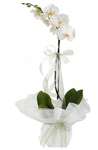 Tekli Beyaz Orkide  Antalya Melisa hediye çiçek yolla