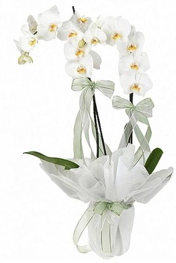 Çift Dallı Beyaz Orkide  Antalya Melisa anneler günü çiçek yolla