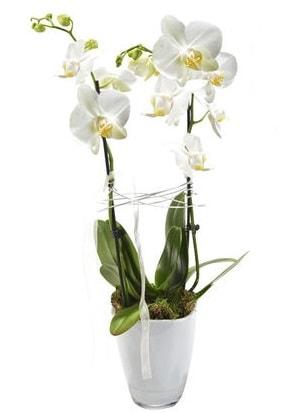 2 dallı beyaz seramik beyaz orkide saksısı  Antalya Melisa çiçek gönderme sitemiz güvenlidir