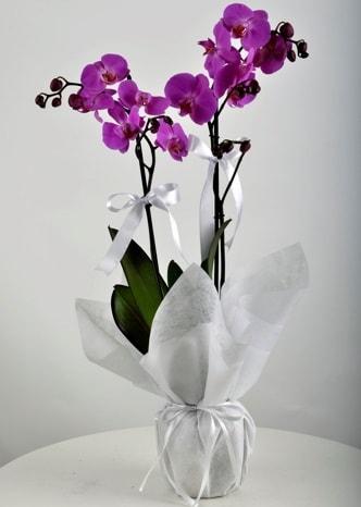 Çift dallı saksıda mor orkide çiçeği  Antalya Melisa çiçek siparişi vermek
