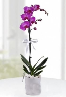 Tek dallı saksıda mor orkide çiçeği  Antalya Melisa çiçekçiler