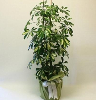 Şeflera salon bitkisi  Antalya Melisa çiçek gönderme