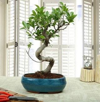 Amazing Bonsai Ficus S İthal  Antalya Melisa internetten çiçek siparişi