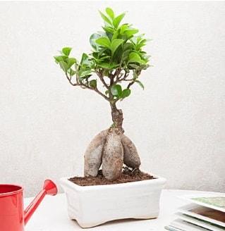 Exotic Ficus Bonsai ginseng  Antalya Melisa çiçek servisi , çiçekçi adresleri