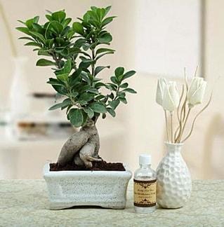 Ginseng ficus bonsai  Antalya Melisa çiçekçiler