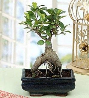 Appealing Ficus Ginseng Bonsai  Antalya Melisa anneler günü çiçek yolla