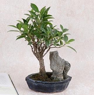Japon ağacı Evergreen Ficus Bonsai  Antalya Melisa çiçek gönderme sitemiz güvenlidir