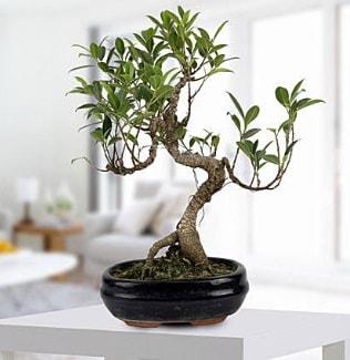 Gorgeous Ficus S shaped japon bonsai  Antalya Melisa yurtiçi ve yurtdışı çiçek siparişi