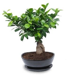 Ginseng bonsai ağacı özel ithal ürün  Antalya Melisa internetten çiçek satışı