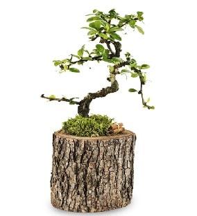 Doğal kütükte S bonsai ağacı  Antalya Melisa çiçek satışı