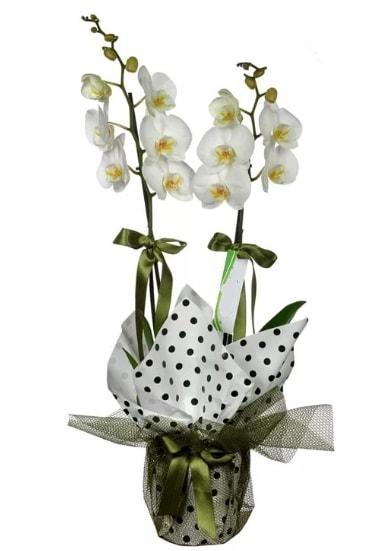 Çift Dallı Beyaz Orkide  Antalya Melisa 14 şubat sevgililer günü çiçek