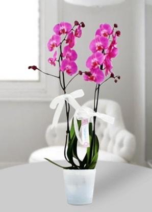 Çift dallı mor orkide  Antalya Melisa çiçekçiler