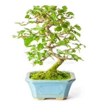 S zerkova bonsai kısa süreliğine  Antalya Melisa Melisa İnternetten çiçek siparişi