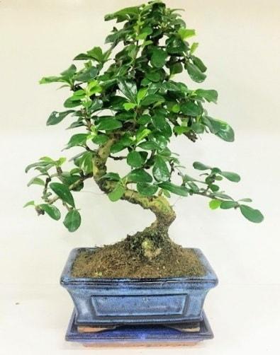 S Bonsai japon ağacı bitkisi  Antalya Melisa uluslararası çiçek gönderme
